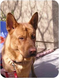 German Shepherd Dog Mix Dog for adoption in Las Vegas, Nevada - Red