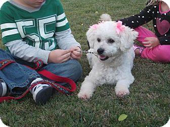 Bichon Frise Dog for adoption in Stockton, California - Greta