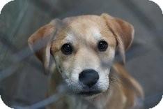 Labrador Retriever Mix Puppy for adoption in East Rockaway, New York - Tommy Boy