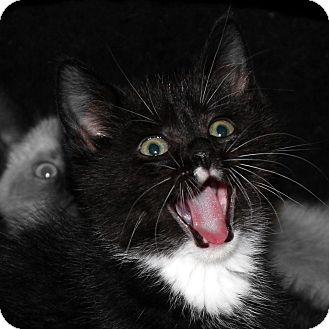 Domestic Shorthair Kitten for adoption in Brimfield, Massachusetts - Eruptor