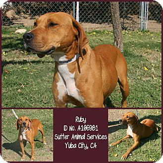 Foxhound Mix Dog for adoption in Yuba City, California - 10/01 Ruby