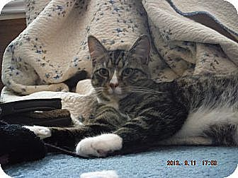 Domestic Shorthair Cat for adoption in Saint Albans, West Virginia - Mittens