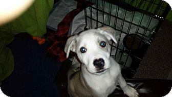 Siberian Husky/Labrador Retriever Mix Puppy for adoption in Perris, California - Teddy