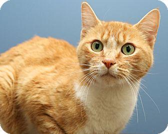 Domestic Shorthair Cat for adoption in Bellingham, Washington - Leila