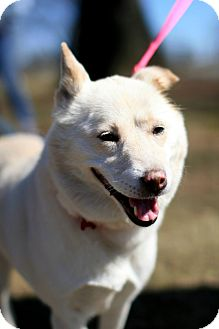 Jindo Dog for adoption in West New York, New Jersey - Daisy