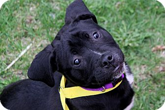Pit Bull Terrier Mix Puppy for adoption in Farmington Hills, Michigan - Comet