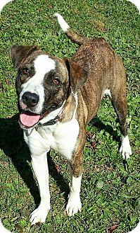 Boxer Mix Dog for adoption in Lisbon, Ohio - Luna