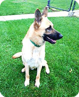German Shepherd Dog Dog for adoption in Evergreen Park, Illinois - Tanner