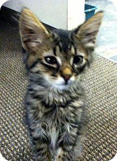Domestic Mediumhair Kitten for adoption in Chandler, Arizona - Siren
