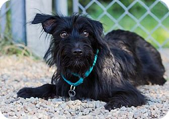 Terrier (Unknown Type, Small) Mix Puppy for adoption in Lowell, Massachusetts - Stella