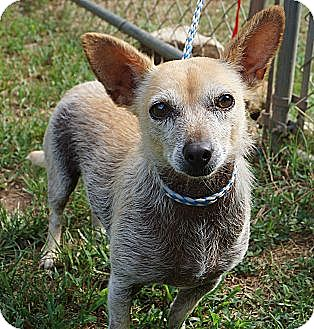 Chinese Crested/Chihuahua Mix Dog for adoption in Wallingford Area, Connecticut - Reba
