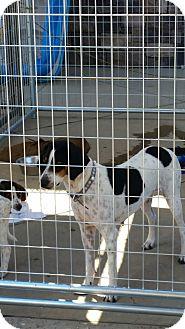 Treeing Walker Coonhound Mix Dog for adoption in Gustine, California - GEORGIA