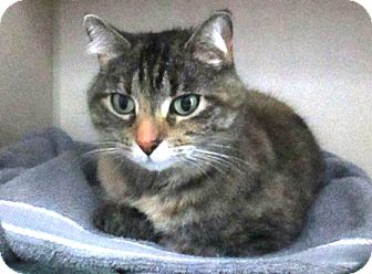 Domestic Shorthair Cat for adoption in Lloydminster, Alberta - Rosey