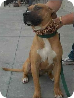 Boxer/American Staffordshire Terrier Mix Dog for adoption in Plaquemine, Louisiana - Joey