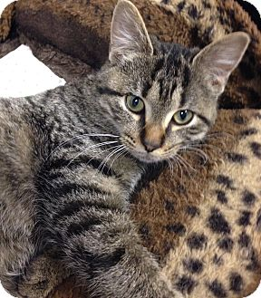 Domestic Shorthair Cat for adoption in Toledo, Ohio - Babette