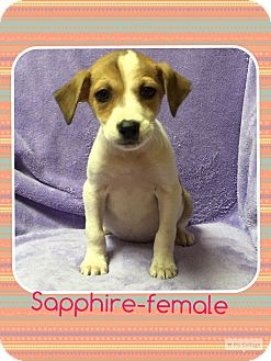 Jack Russell Terrier/Feist Mix Puppy for adoption in Washington, D.C. - Sapphire (pom-dc)