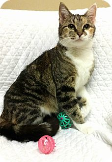 Domestic Shorthair Cat for adoption in Cannelton, Indiana - Melody