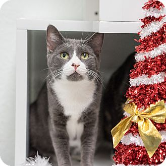 Domestic Shorthair Cat for adoption in Montclair, California - Violet