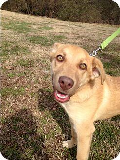 Labrador Retriever/Shepherd (Unknown Type) Mix Dog for adoption in St. Louis, Missouri - Jackson (ETAA)
