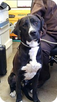 Great Dane Mix Dog for adoption in Cadiz, Ohio - LEROY