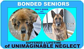 Chow Chow Mix Dog for adoption in Wantagh, New York - Bagel