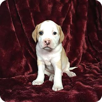 American Staffordshire Terrier/Staffordshire Bull Terrier Mix Puppy for adoption in santa monica, California - Ringo