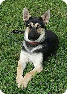 German Shepherd Dog Mix Dog for adoption in Nashville, Tennessee - Clark