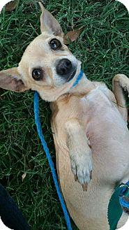 Chihuahua Mix Dog for adoption in Austin, Texas - Chloe