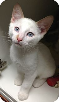 Siamese Kitten for adoption in Putnam Hall, Florida - Simon