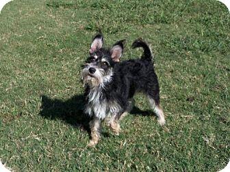 Standard Schnauzer/Terrier (Unknown Type, Medium) Mix Dog for adoption in Texarkana, Texas - Ashley