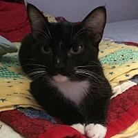 Domestic Shorthair Kitten for adoption in Santa Rosa, California - Clarinet
