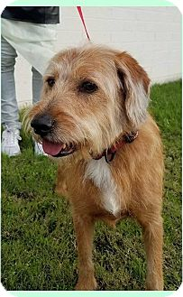 Irish Terrier/Retriever (Unknown Type) Mix Dog for adoption in Phoenix, Arizona - Murphy