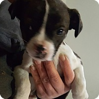 Adopt A Pet :: Barkley ADOPTED!! - Antioch, IL