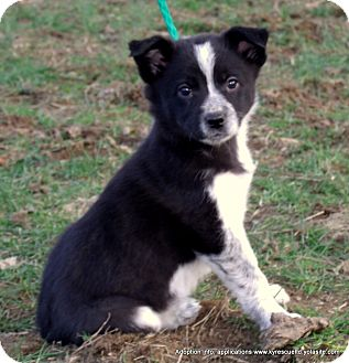 Border Collie Mix Puppy for adoption in parissipany, New Jersey - CLOVER~ADOPTED