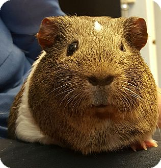 Guinea Pig for adoption in Albemarle, North Carolina - Oliver