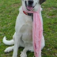 Anatolian Shepherd Dog for adoption in Whitewright, Texas - Kali