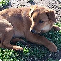 Adopt A Pet :: Bruno - Rancho Cucamonga, CA