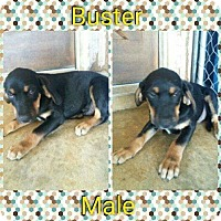 Adopt A Pet :: Buster-in CT - Manchester, CT