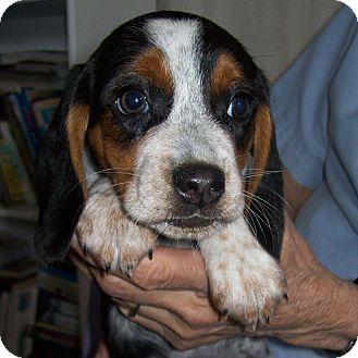 Beagle Mix Puppy for adoption in Westfield, New York - Ella