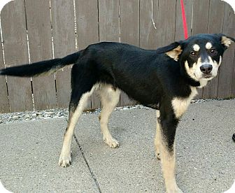 Husky/Shepherd (Unknown Type) Mix Dog for adoption in Cincinnati, Ohio - Nanook