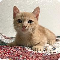 Adopt A Pet :: Sorghum - Hendersonville, NC
