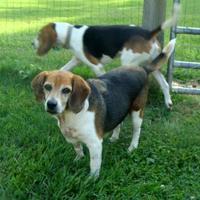 Adopt A Pet :: Ridge - Auburn, AL