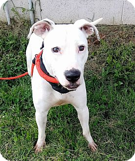 American Pit Bull Terrier Mix Dog for adoption in MC KENZIE, Tennessee - JuneBug