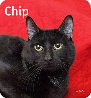 Domestic Shorthair Cat for adoption in Pleasantville, New Jersey - Chip