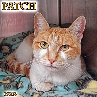 Domestic Shorthair Cat for adoption in Oak Ridge, Tennessee - Patch