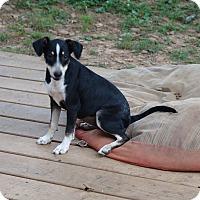Adopt A Pet :: shasta - Staunton, VA