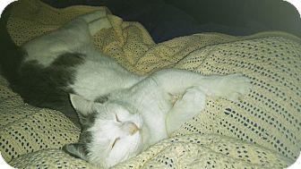 Domestic Shorthair Cat for adoption in Alton, Illinois - Edie