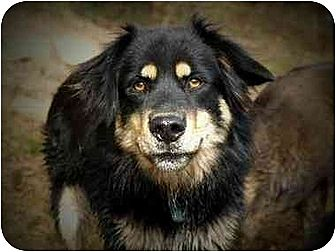 English Shepherd Mix Dog for adoption in Concord, North Carolina - CHIEF