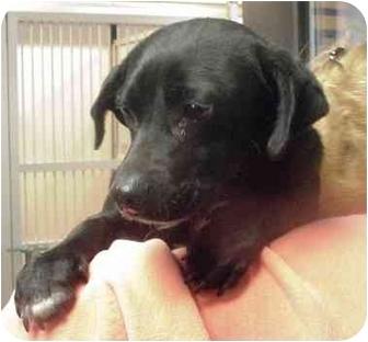 Beagle/Dachshund Mix Dog for adoption in Manassas, Virginia - Mellow