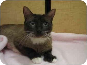 Siamese Cat for adoption in Irvine, California - Gigi